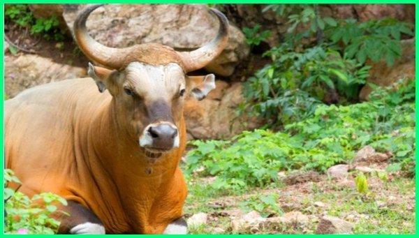 hewan yang berasal dari pulau jawa,ciri khas hewan pulau jawa , ciri ciri hewan pulau jawa, hewan di pulau jawa, nama hewan langka di pulau jawa dan bali, hewan endemik pulau jawa yang terancam punah, gambar hewan di pulau jawa, hewan endemik indonesia di pulau jawa