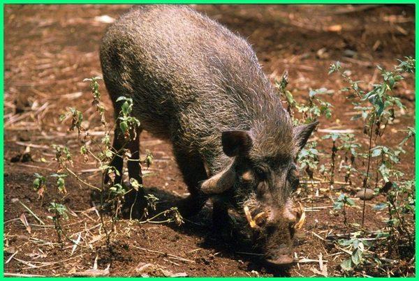 hewan pulau jawa yang sudah punah,hewan endemik pulau jawa yang terancam punah adalah, hewan di pulau jawa yang sudah punah, hewan endemik pulau jawa yang terancam punah, hewan hampir punah di pulau jawa, hewan punah di pulau jawa, 5 hewan yang sudah punah di pulau jawa