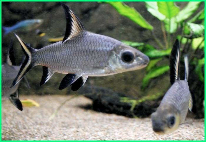 ikan balashark dewasa, harga ikan balasak, gambar ikan balasak, ikan balashark aquascape, ikan balashark adalah, ikan belanak hias, ikan hias balasak, makanan ikan belanak laut, ikan balashark terbesar, ikan balashark wikipedia, ikan balashark jantan dan betina