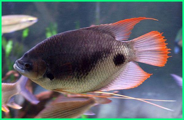 gurame hias tasik jual hiasan bakar cabe ijo padang mini budidaya ikan besar gambar air tawar harga jenis gurami kerdil kumpay putih