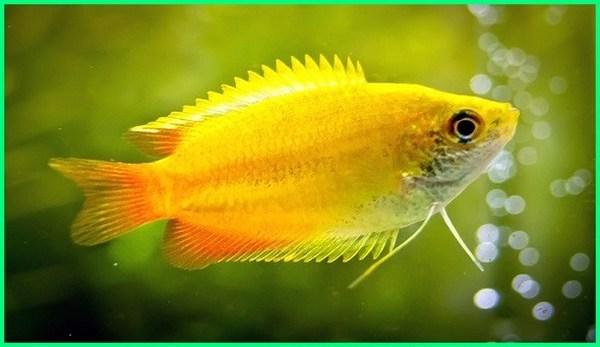 pakan ikan gurame hias, sifat ikan gurame hias, ikan gurame hias terbesar, ikan gurame hias air tawar