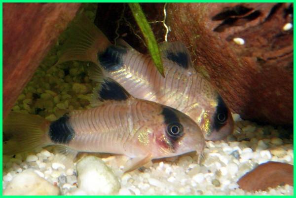 ikan hias kecil cantik, ikan hias kecil yang cantik, ikan hias kecil paling cantik, ikan hias kecil dan cantik, jenis ikan hias kecil yang cantik, ikan hias tubuh kecil, ikan hias ukuran kecil, ikan hias ukuran kecil air tawar, jenis ikan hias kecil untuk aquarium