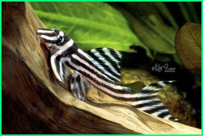 Ikan Cupang Zebra