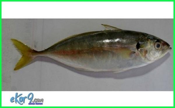 Sehat Dan Lezat Ini 10 Jenis Ikan Laut Yang Biasa Dikonsumsi Dunia Fauna Hewan Binatang Tumbuhan Dunia Fauna Hewan Binatang Tumbuhan