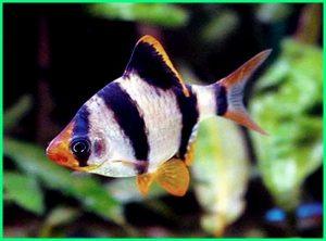 ikan sumatra barb, ikan hias sumatra, ikan asli sumatera, ikan asli sumatera utara, ikan sumatra aquascape, ikan sumatra agresif, ikan sumatra dicampur koi, ikan sumatra dicampur koki, ikan sumatra dan koki, ikan sumatra dewasa, ikan sumatra jantan betina