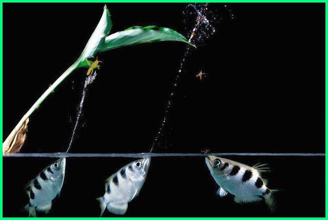 ikan sumpit memiliki ciri khusus berupa, ikan sumpit wikipedia, ikan sumpit in english, ikan sumpit sumpit, makanan ikan sumpit adalah, jual ikan sumpit bandung, budidaya ikan sumpit, ciri ikan sumpit habitat ikan sumpit, jenis ikan sumpit, kemampuan ikan sumpit, memelihara ikan sumpit, ikan yang menyemburkan air, ikan yang menembakan air