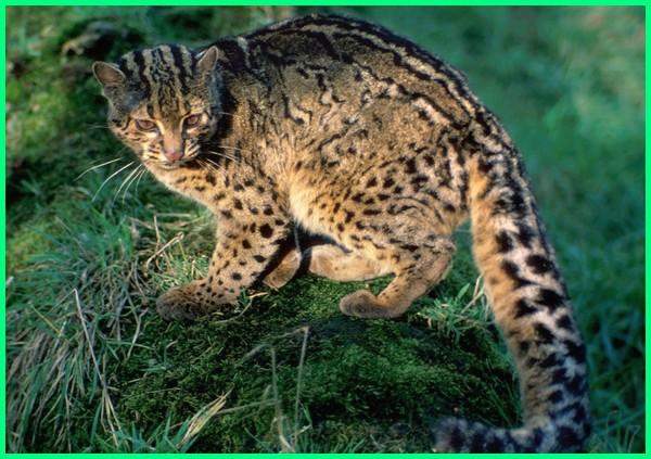jenis kucing hutan indonesia, harga kucing hutan indonesia, gambar kucing hutan indonesia, foto kucing hutan indonesia, jual kucing hutan indonesia, komunitas kucing hutan indonesia, macam macam kucing hutan indonesia, kucing hutan asli indonesia, kucing hutan di indonesia, macam macam kucing hutan di indonesia