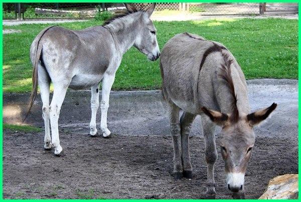 keledai menendang manusia, keledai menyerang manusia, keledai menggigit manusiam, keledai dan manusia, manusia vs keledai