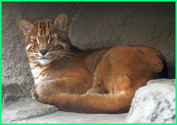 jenis kucing hutan asli indonesia, kucing hutan yang ada di indonesia, kucing hutan di indonesia, jenis kucing hutan di indonesia, jenis2 kucing hutan di indonesia, harga kucing hutan di indonesia, macam macam kucing hutan di indonesia, jenis kucing hutan yang ada di indonesia, kucing hutan endemik indonesia