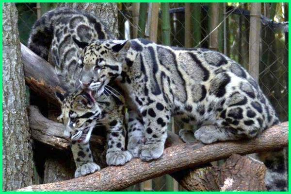 kucing hutan endemik indonesia, jual kucing hutan indonesia, kucing hutan langka di indonesia, populasi kucing hutan di indonesia, spesies kucing hutan di indonesia