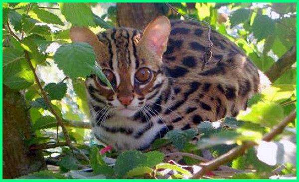 6 Kucing Hutan Asli Endemik Indonesia Yang Langka Dunia Fauna Hewan Binatang Tumbuhan Dunia Fauna Hewan Binatang Tumbuhan