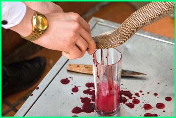 minum darah ular