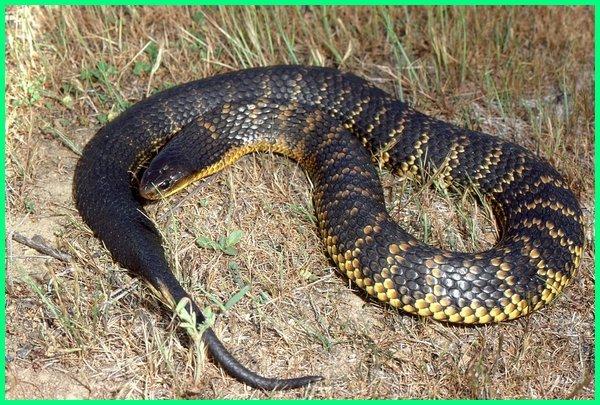 ular apa yang mematikan, ular apa yg mematikan, ular apa yang paling mematikan, kenapa racun ular bisa mematikan, nama ular paling mematikan, nama ular paling mematikan di dunia, nama ular yg mematikan, mengapa bisa ular mematikan