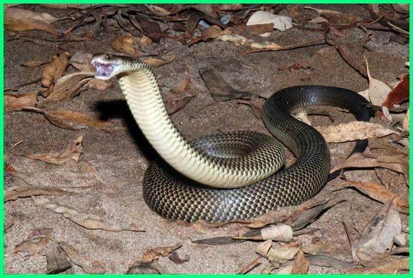 www.ular mematikan, ular berbisa yg mematikan, ular tanah yang mematikan, 10 ular mematikan di dunia, 5 ular paling mematikan di dunia, 5 ular paling mematikan