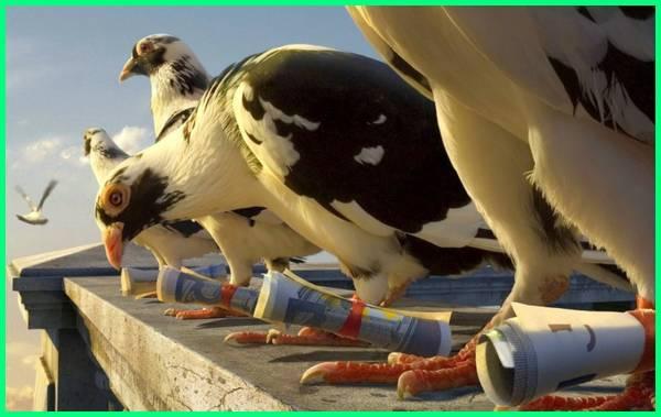 Hewan dan manfaatnya untuk manusia, manfaat burung merpati, burung merpati berguna untuk, apa manfaat memelihara burung merpati