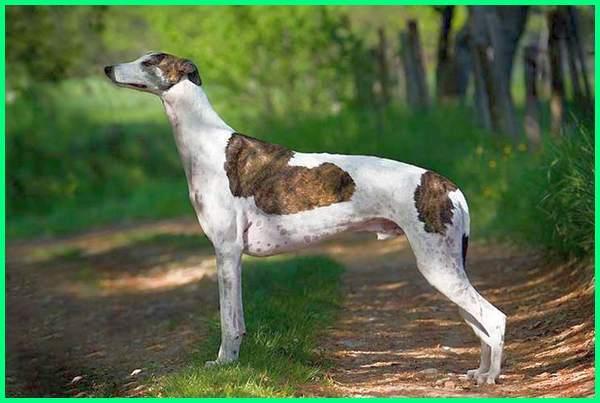 anjing paling tua di dunia, umur anjing paling tua, ras anjing paling tua, anjing paling setia kepada tuannya, anjing yang paling setia dengan tuannya, anjing yang sudah tua