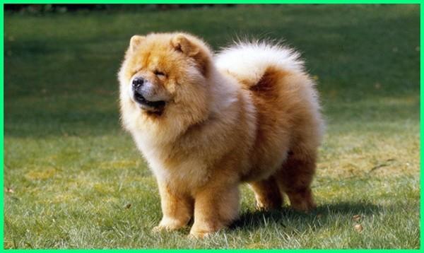 cari anjing chow chow, anjing chow chow dewasa, foto anjing chow chow, fakta tentang anjing chow chow, gambar anjing chow chow, karakter anjing chow chow, sifat dan karakter anjing chow chow, anjing ras chow chow, foto anjing chow chow