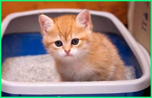 tanda kucing mencret, bagaimana jika kucing mencret, berapa lama kucing diare, berapa lama kucing mencret, kucing mencret dimana mana, penyebab kucing mencret berdarah, nama obat mencret kucing, kenapa kucing mencret dan berdarah, bolehkah kucing mencret dimandikan, apa obat kucing mencret, obat kucing mencret alami, obat kucing mencret secara alami, obat kucing mencret berlendir ampuh, obat kucing mencret di apotik