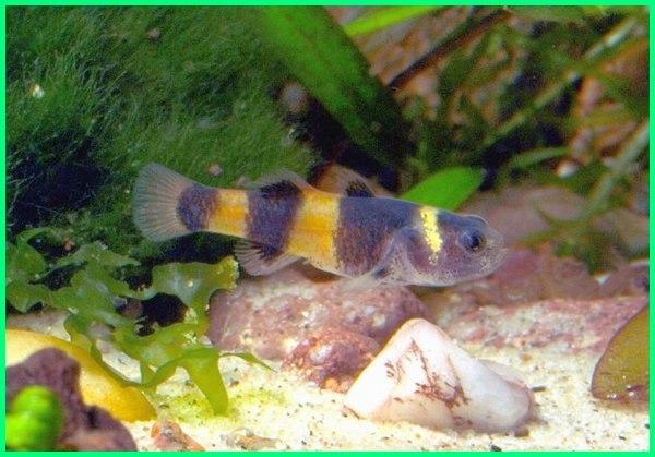 fakta ikan gobi, gambar ikan gobi, gambar ikan gobi hias, cara budidaya ikan gobi hias, ikan gobi kali, ikan gobi lokal, perawatan ikan gobi, ikan gobi tercantik, tentang ikan gobi