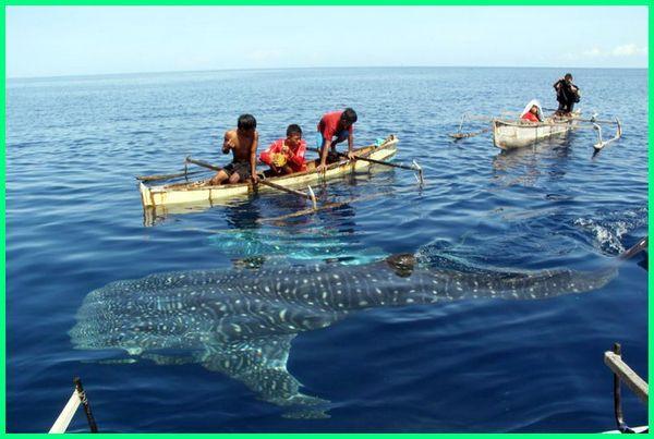 berenang bersama hiu paus, berenang bersama ikan paus, berenang dengan paus di gorontalo, berenang dengan hiu paus di gorontalo, berenang dengan hiu paus gorontalo, berenang dengan hiu paus