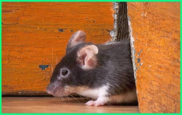 cara mencegah tikus masuk rumah, cara halau tikus masuk rumah, cara cegah tikus masuk rumah, cara menghalau tikus masuk rumah, cara atasi tikus masuk rumah, cara alami mencegah tikus masuk rumah, cara agar tikus tidak masuk rumah, cara agar tikus takut masuk rumah, cara ini bikin tikus tidak berani masuk rumah anda lagi