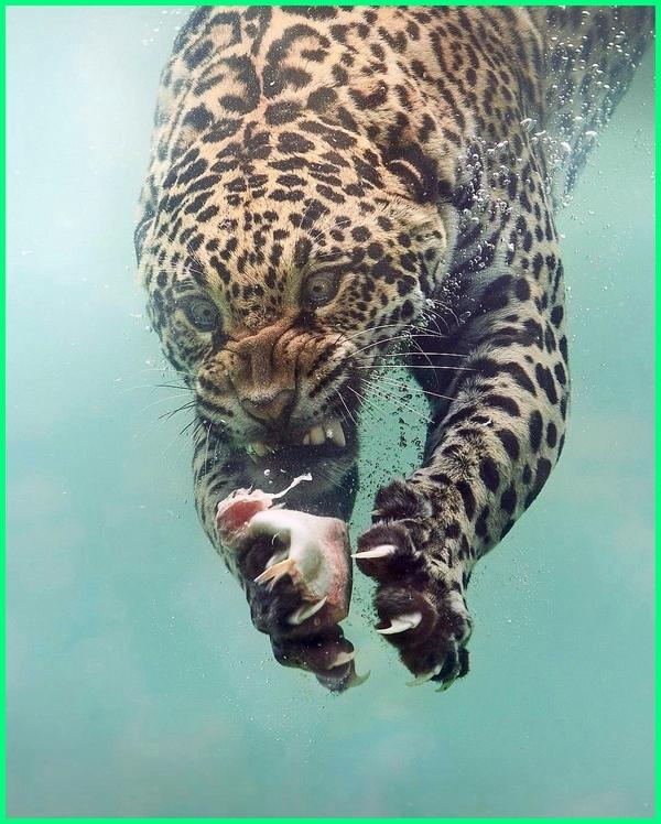 gambar hewan buas keren, gambar hewan keren untuk wallpaper, gambar hewan keren hd, gambar macan dalam air, gambar harimau dalam air