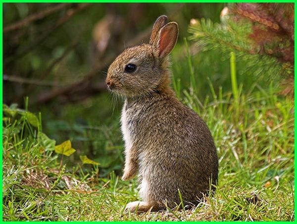 hewan yang ada di kebun, hewan yg ada di kebun, kelinci liar