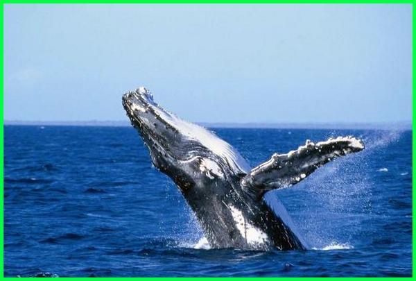 hewan hidup di air, hewan air adalah, hewan yang hidup di air adalah, hewan menyusui dan mempunyai habitat di air adalah, hewan di bawah air, hewan hidup di air bernafas dengan paru paru, hewan air berpunggung keras, hewan air beserta ciri cirinya