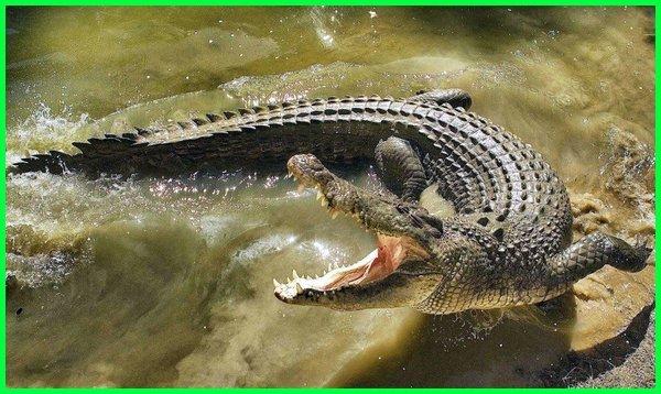 hewan berkaki empat hidup di air, hewan air purba yang masih hidup, hewan air raksasa, hewan raja air, hewan air di sungai amazon, hewan air sungai, hewan yg hidup di air sungai