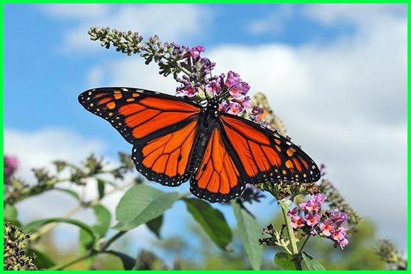 hewan di kebun, hewan di ekosistem kebun, kupu-kupu di kebun
