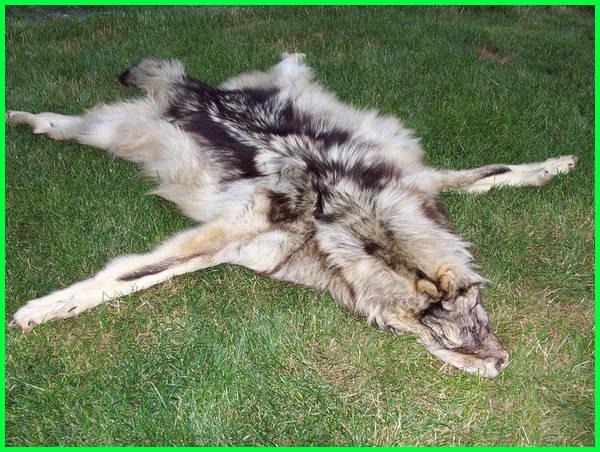 hewan yang diburu diambil kulitnya adalah, hewan yang diburu untuk diambil kulitnya adalah, contoh hewan yang diambil kulitnya, hewan yang diburu kulitnya