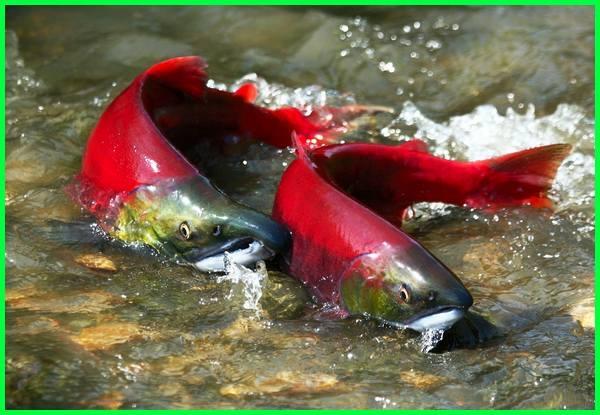 hewan yang hidup di air, contoh hewan yang hidup di air dan cirinya, hewan yang hidup di air tawar, hewan yang hidup di air payau, hewan yang hidup di air apa saja, hewan yang hidup di air laut, hewan yang hidup di air tts