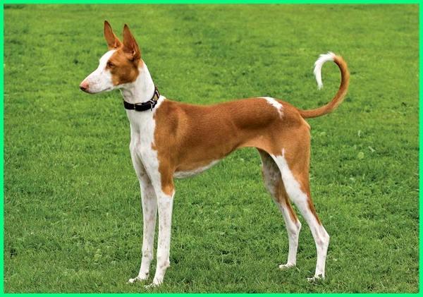 ibizan hound breed info, ibizan hound colors, ibizan hound facts, are ibizan hounds good dogs, ibizan hound history, ibizan hound information, ibizan hound origin