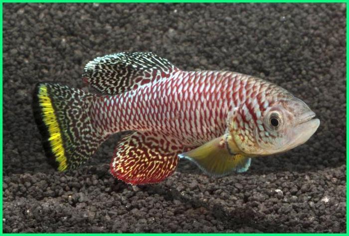 ikan paling cepat besar, ikan paling cepat pertumbuhannya, ikan yang paling cepat panen, ikan air tawar paling cepat besar, ikan apa yang paling cepat besar, ikan air tawar yang paling cepat besar, ikan air tawar yang paling cepat panen, ikan yang paling cepat besar, ikan hias yang paling cepat berkembang biak