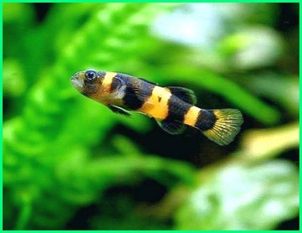 ikan gobi gobi,ikan gobi hias, ikan gobi adalah, ikan gobi biasa, ikan gobi cantik, ikan gobi china cara ternak ikan gobi, ciri-ciri ikan gobi, foto ikan gobi, ikan gobi papua