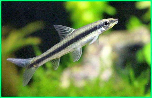siamese algae eaters,siamese algae eater fish, siamese algae eater care, siamese algae eater aquarium, siamese algae eater identification