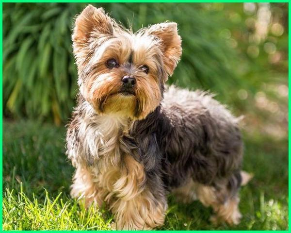 jenis anjing kecil lucu, nama anjing kecil yang lucu, ras anjing kecil dan lucu, anjing kecil yg lucu, jenis anjing kecil yg lucu, puisi tentang anjing kecil yang lucu, 10 jenis anjing kecil lucu