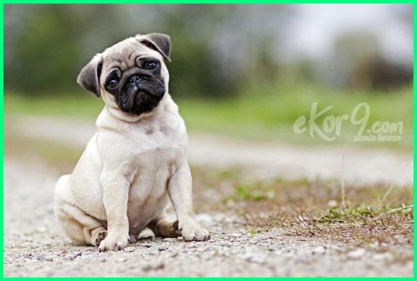 jenis anjing lucu dan menggemaskan, jenis anjing lucu imut, jenis jenis anjing kecil lucu, jenis jenis anjing kecil dan lucu, jenis jenis anjing kecil yang lucu, jenis anjing lucu murah, nama jenis anjing kecil lucu, jenis anjing lucu peliharaan, jenis anjing lucu untuk dipelihara, jenis anjing mini yang lucu, 10 jenis anjing kecil lucu