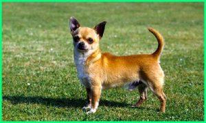 anjing cihuahua