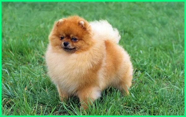 jenis anjing mini lucu kecil yang yg dan berbulu lebat beserta harganya pintar imut mungil di indonesia menggemaskan murah nama peliharaan poodle seperti boneka untuk dipelihara 10