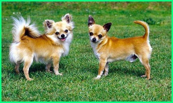 jenis anjing kecil yang lucu, jenis anjing kecil yg lucu, jenis anjing kecil dan lucu, jenis anjing lucu berbulu lebat, jenis anjing lucu beserta harganya, jenis anjing lucu dan pintar, jenis anjing lucu dan harganya, jenis anjing lucu dan imut, jenis anjing lucu dan mungil