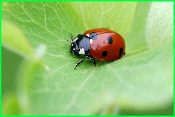 hewan yang suka ada di kebun, serangga yang ada di kebun, kepik merah, kepik daun, kepik emas, kepik predator