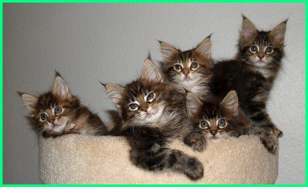 kucing maine coon yang bagus, gambar kucing jenis menkun, kucing maine coon kitten, kucing maine coon kecil, kucing keturunan maine coon, kucing kacukan maine coon, kucing maine coon lucu, kucing maine coon mix, kucing maine coon ras asli, kucing spesies maine coon, kucing maine coon terbesar, kucing maine coon terbaik, kucing turunan maine coon, kucing maine coon untuk dijual