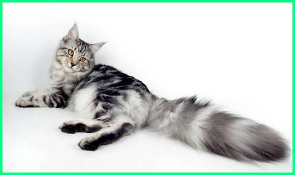 kucing maine coon wikipedia, harga kucing maine coon non ped, perbedaan kucing maine coon ped dan non ped, kucing maine coon original, olx hewan kucing maine coon, harga kucing maine coon non ped, perbedaan kucing maine coon ped dan non ped, kucing maine coon original, olx hewan kucing maine coon, kucing ras maine coon, kucing raksasa maine coon, kucing ras maine coon pure