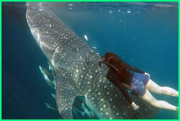 jenis ikan paus di indonesia, ikan paus asli indonesia, jenis ikan paus yang ada di indonesia, apakah di indonesia ada ikan paus, ikan paus bahasa indonesia, habitat ikan paus di indonesia