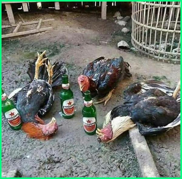 ayam lucu mabok, gambar meme ayam aduan, gambar meme adu ayam, meme ayam bangkok, ayam everywhere meme, meme ayam gokil meme gambar ayam, meme hobi ayam, meme hewan ayam, meme ayam kocak, meme lucu ayam aduan