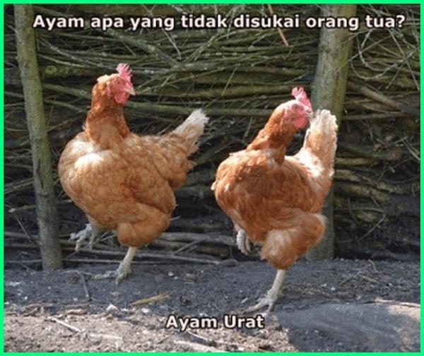 meme ayam petelur, kata ayam lucu, kata lucu buat ayam, kata lucu dari ayam, kata kata ayam lucu, gambar kata lucu tentang ayam, kata lucu untuk ayam