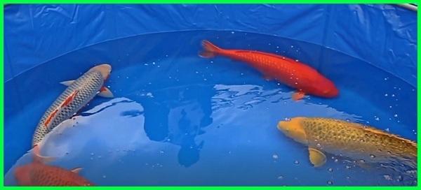 apa yang membuat ikan koi mahal, alasan ikan koi mahal, penyebab ikan koi mahal, mengapa ikan koi menjadi ikan hias tergolong mahal