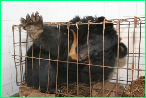 peternakan empedu beruang, empedu beruang halal atau haram, empedu beruang untuk obat apa, ciri ciri empedu beruang asli, manfaat empedu beruang bagi kesehatan, bentuk empedu beruang, khasiat empedu beruang, empedu beruang khasiatnya, manfaat tanaman empedu beruang khasiat, pembeli empedu beruang