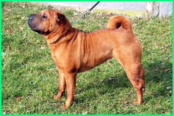 shar-peis, shar-pei dog, shar pei dogs, shar pei, shar-pei archives, a shar pei dog, shar-pei breeders, shar-pei characteristics, shar pei dog breed, shar pei dog breeds, shar-pei facts